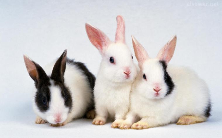أرانب السباق الحزبية