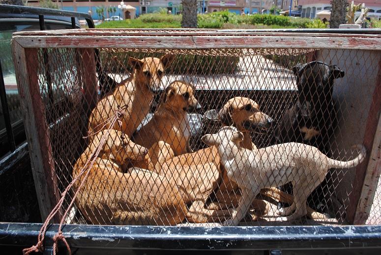 عملية جمع الكلاب الضالة تتواصل بتيزنيت