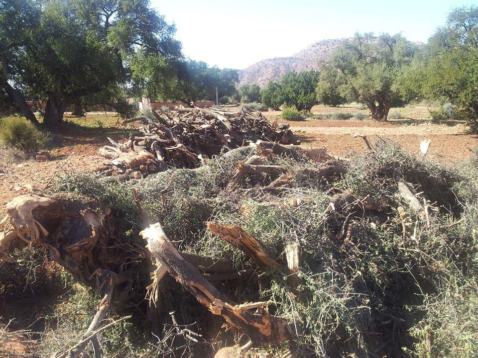 جريمة بيئية بأكاديربقطع حوالي 200شجرة بمركب ابن زهر بحي السلام