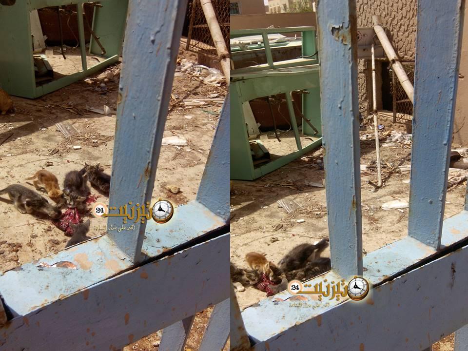 صور صادمة لقطط تنهش مَشيمة وحَبْلا سُرّيا بالمستشفى الإقليمي لتيزنيت