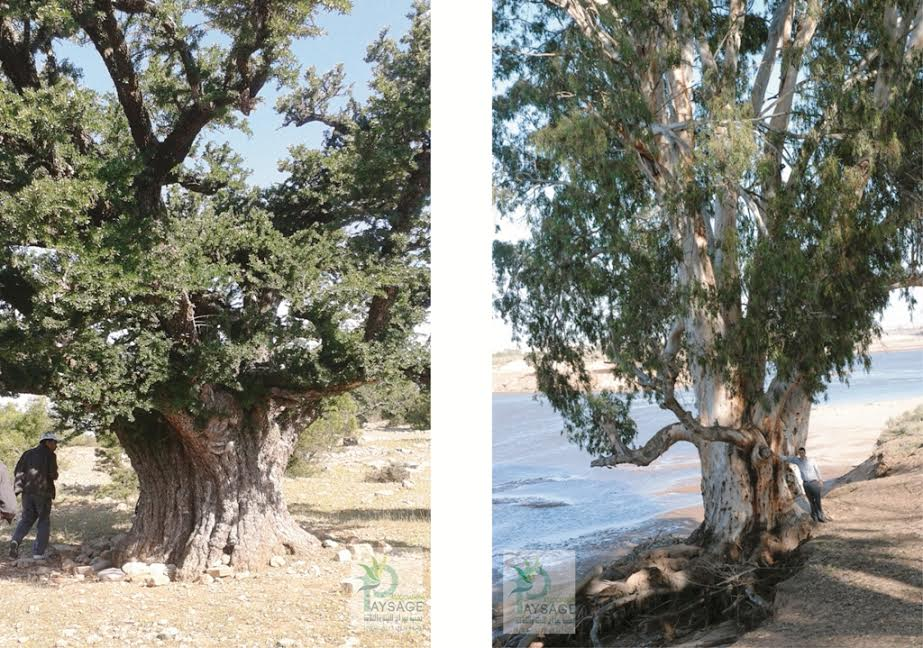 أشجار عملاقة تتربع على عرش الغابات بسوس والعالم