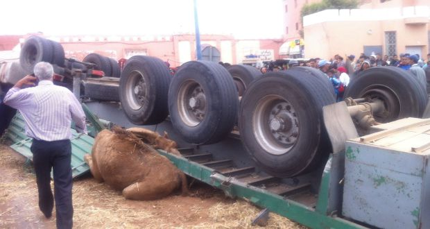 انقلاب شاحنة محملة بالإبل ببيزكارن