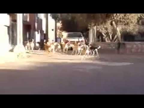 الكلاب الضالة تجتاح شوارع تيزنيت