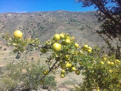بسبب الرعي الجائر ..ساكنة انزي تضطر لجني ثمار الاركان قبل وقتها الطبيعي