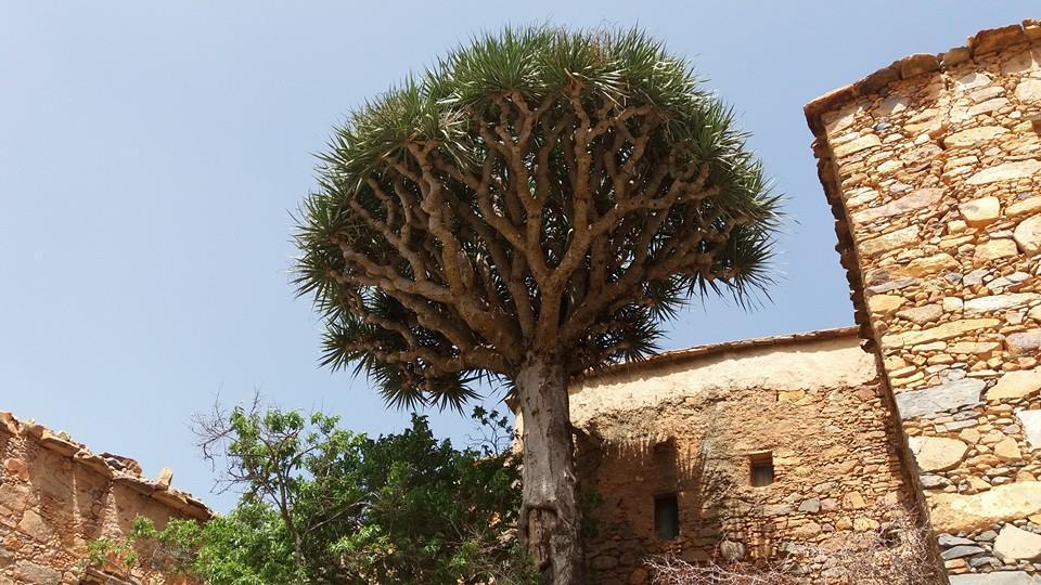 """أجكال"""" شجر ناذر يقاوم من أجل البقاء بسفوح جبال آيت احمد بإقليم تزنيت"""